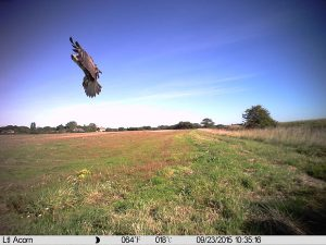 Resident buzzard swoops over the chamomile